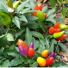 CHilli paprička - CHinense  Multicolor (semena)